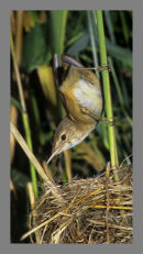Reed Warbler. 